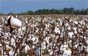 Cotton Textile to China